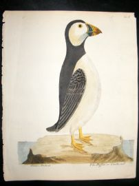 Albin 1730's Antique Hand Coloured Bird Print. The Puffin